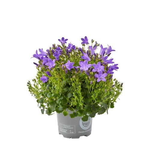 Campanula portenschlagiana BLUEONE (Gasa DK)