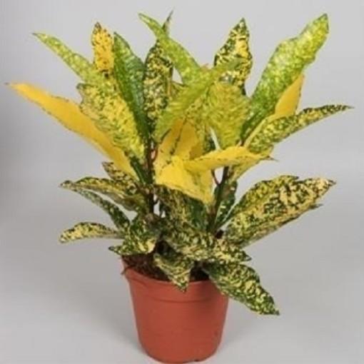 Codiaeum variegatum 'Gold Sun' (Hkw. van der Velden)