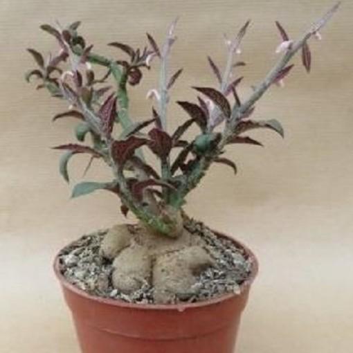 Monadenium rubellum (John De Wilde bvba)