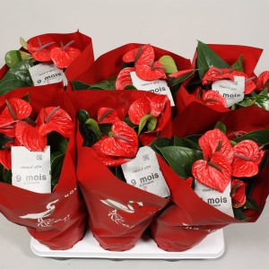 Anthurium 'Flamingo Chique' (Flamingo Plant)