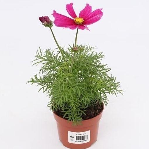 Cosmos bipinnatus 'Sonata Pink' (Gebr. Grootscholten)