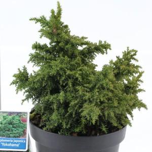 Cryptomeria japonica 'Yokohama' (About Plants Zundert BV)