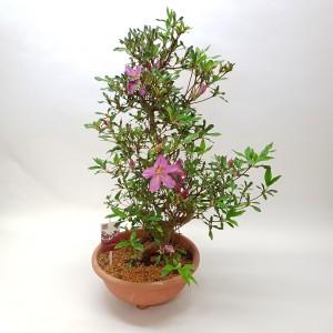 Rhododendron indicum 'Satsuki' (M&M Garden)