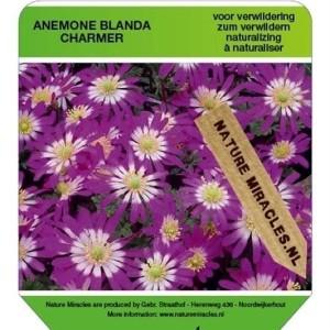 Anemone blanda 'Charmer' (Gebr. Straathof)
