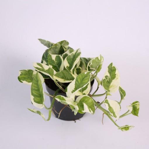 Epipremnum aureum N' JOY (Kap Scindapsus)