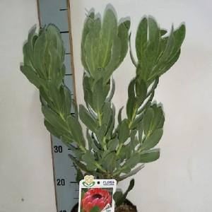 Protea 'Sylvia'