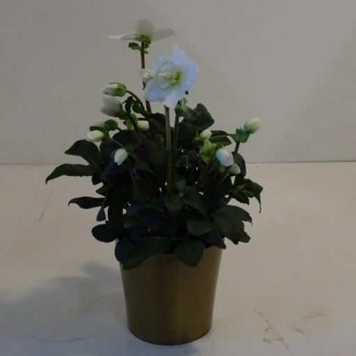 Helleborus niger 'Christmas Carol' (Montis Zuidplas B.V., Kwekerij)
