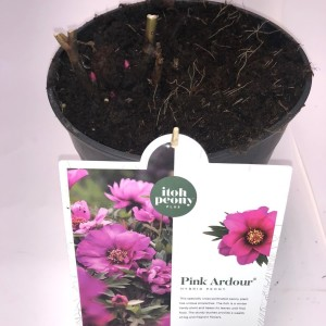 Paeonia 'Pink Ardour'