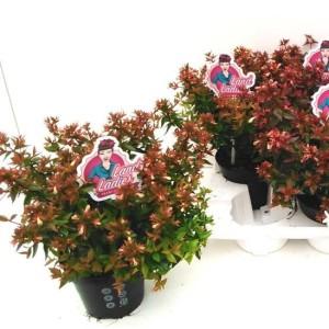 Abelia x grandiflora LITTLE LADY