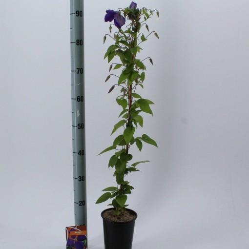 Clematis 'Jackmanii' (About Plants Zundert BV)