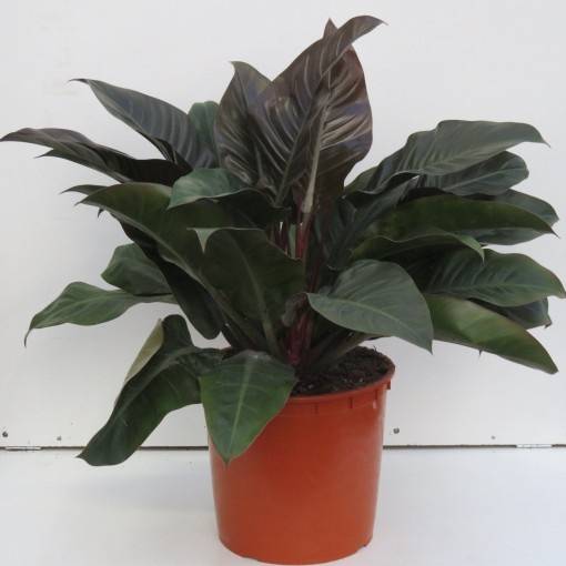 Philodendron 'Imperial Red' (Snoeker)