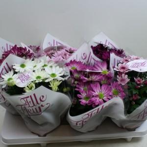 Chrysanthemum ELLE FLEUR
