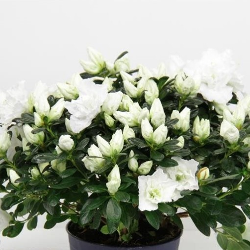 Rhododendron HORTINNO CHRISTINE BELLI (FlorAmor)
