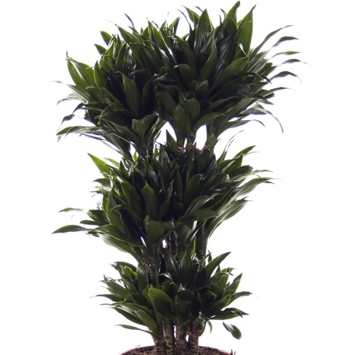 Dracaena fragrans 'Compacta' (Ammerlaan, The Green Innovater)