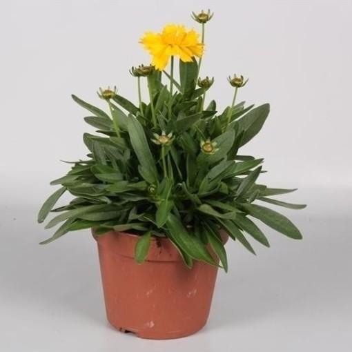 Coreopsis grandiflora 'Presto' (Endhoven Flowering Plants)