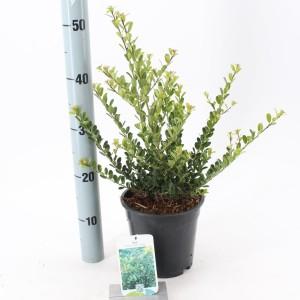 Ilex crenata 'Green Hedge'