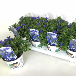 Gentiana scabra LUIS BLUE (Experts in Green)