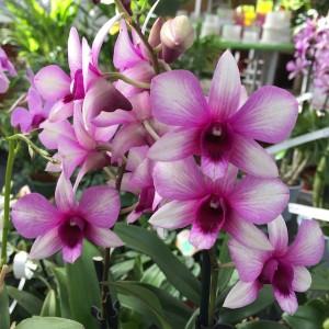 Dendrobium SA-NOOK POLAR FIRE (Wichmann Orchideen e.K.)