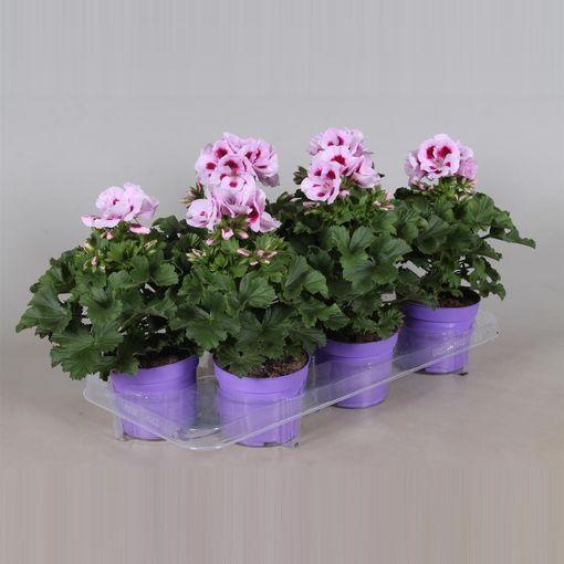 Pelargonium 'Elegance Lavendel Splashed' (Adrichem Potplanten)