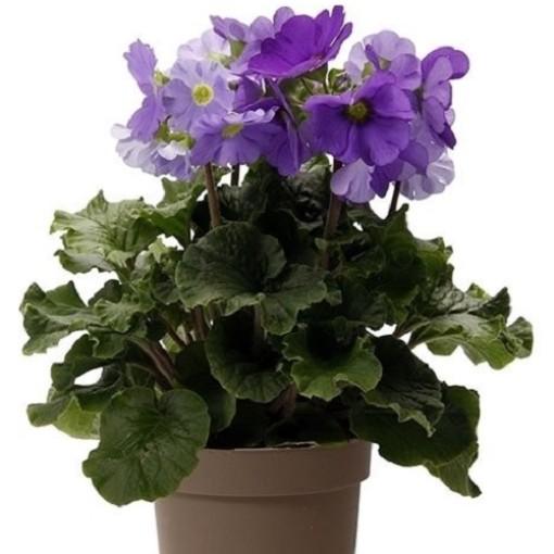Primula obconica TOUCH ME BLUE (OK Plant)