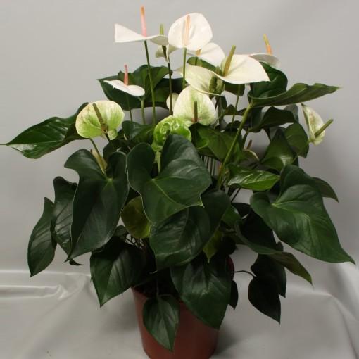 Anthurium SUMI (Flamingo Plant)