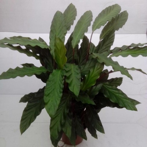 Calathea rufibarba (Gasa DK)