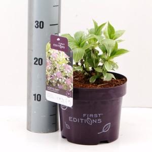 Hydrangea macrophylla LIGHT-O-DAY (Hooftman boomkwekerij)