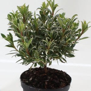 Rhododendron 'Silver Sword' (About Plants Zundert BV)