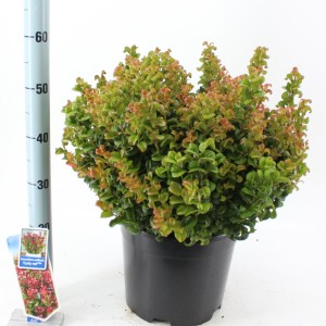 Leucothoe axillaris 'Curly Red' (About Plants Zundert BV)