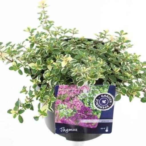 Thymus pulegioides 'Foxley' (Noordpoel, Kwekerij de)