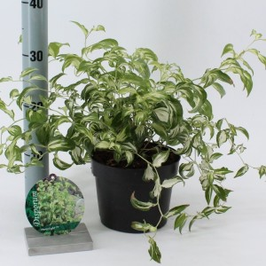Disporum cantoniense 'Moonlight' (About Plants Zundert BV)