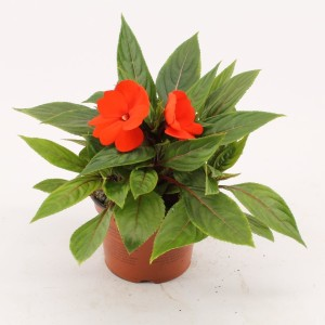 Impatiens COLORPOWER FIRE (Bas van der Wilt)