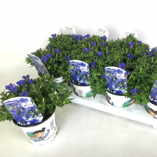 Gentiana scabra LUIS BLUE (Experts in Green)