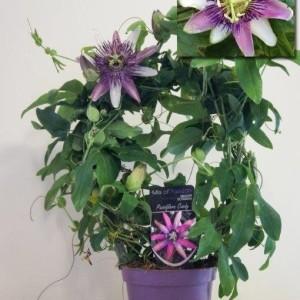Passiflora x belottii 'Impératrice Eugénie' (Plantcare BVBA)