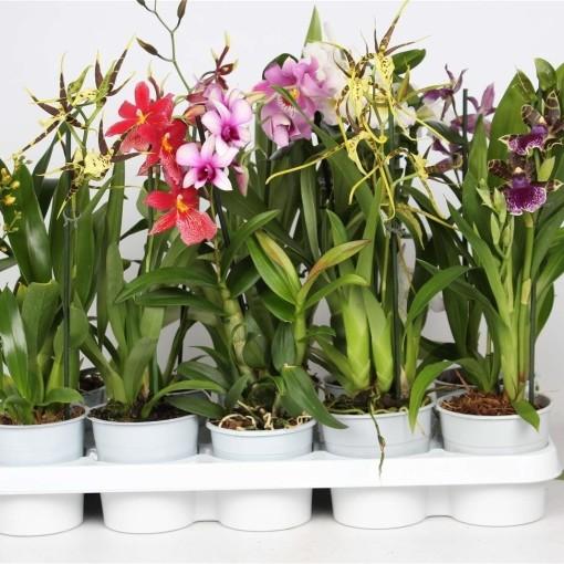 Orchids MIX (Lansbergen Orchids)