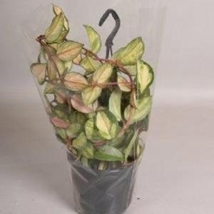 Hoya carnosa 'Tricolor' (Handelskwekerij van der Velden)