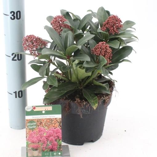 Skimmia japonica RUBESTA OPTIMA (About Plants Zundert BV)