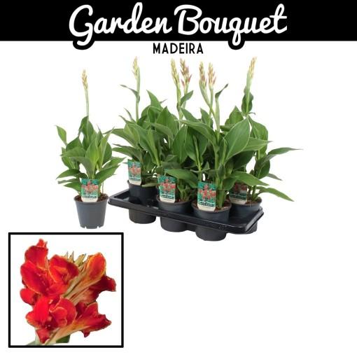 Canna 'Madeira' (Vreugdenhil Bulbs & Plants)