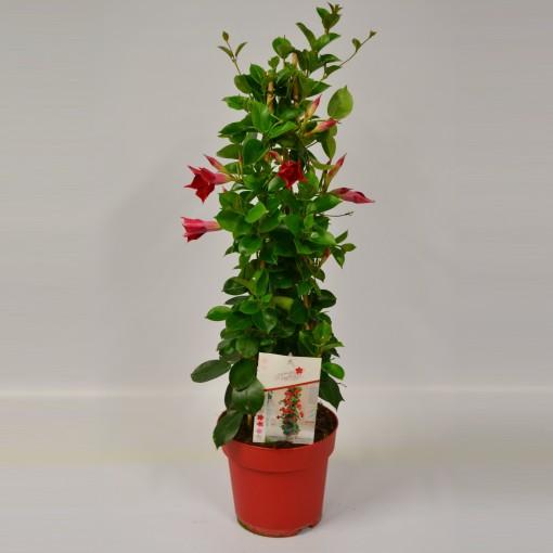 Mandevilla SUNDAVILLE RED (Glorious Gloriosa)