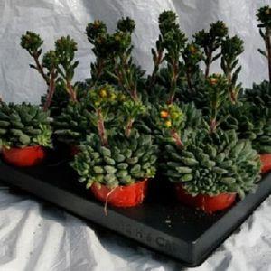 Echeveria setosa 'Rondelli'
