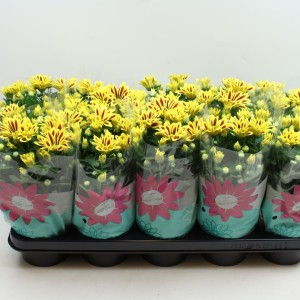 Chrysanthemum RAINBOW LAKE WORTH