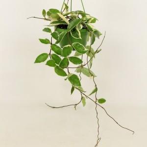 Hoya carnosa 'Krimson Queen' (Elstgeest)