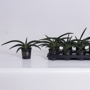 Sansevieria cylindrica 'Tiara Jungle Green'
