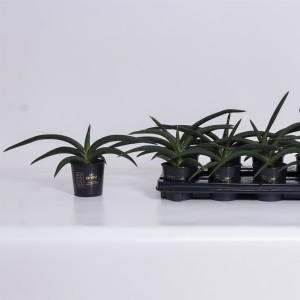 Sansevieria cylindrica 'Tiara Jungle Green'