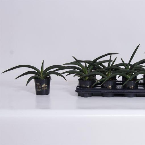 Sansevieria cylindrica 'Tiara Jungle Green' (Ansu)