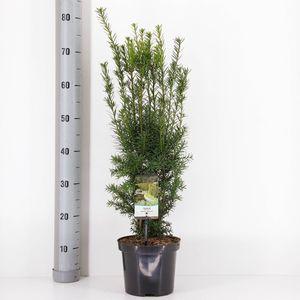 Taxus x media 'Hicksii' (Bremmer Boomkwekerijen)