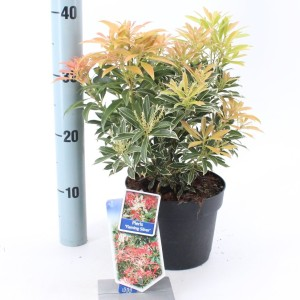 Pieris 'Flaming Silver' (About Plants Zundert BV)