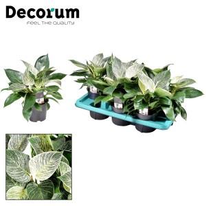 Philodendron BIRKIN / WHITE MEASURE (JoGrow B.V.)