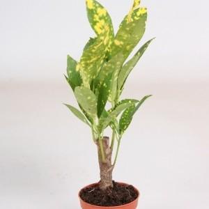 Codiaeum variegatum 'Aucubaefolia'