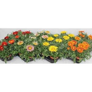 Gazania GIANT MIX